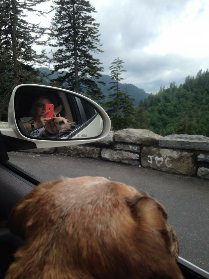 The best part of vacations in the Smokies was putting his head out the window.  (We'll never forget the time he barked at a bear that dozens of tourists were trying to get a picture of, sending the bear back into the woods)